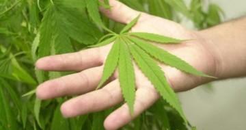 Anvisa discute plantio de maconha para pesquisa e uso medicinal